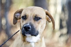 Hound Cur mixed breed dog with black muzzle. Tan hound, Black-mouthed Cur, Boxer mix puppy dog mutt with black muzzle outdoors on black leash. Male, not neutered Stock Photos