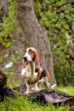 Hound de Basset Fotografia de Stock