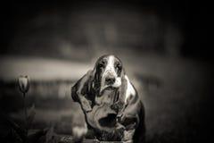 Hound de Basset Fotografia de Stock Royalty Free