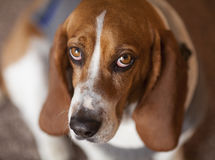 Hound de Basset Fotos de Stock Royalty Free