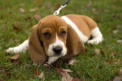 Hound de Basset que coloca na grama Foto de Stock Royalty Free