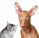 Hound do gato e do Pharaoh foto de stock royalty free