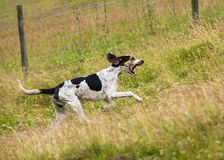 Hound Dog Royalty Free Stock Images