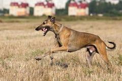 Hound dog. Run in field Stock Photo