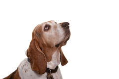 Hound Dog Royalty Free Stock Photos