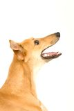 Hound Dog. A tan greyhound sitting against a white background, looking up stock photography