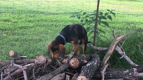 Hound dog barking and climbing on woodpile stock footage
