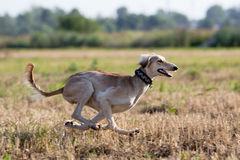 Hound dog coursing. Run in field Stock Photography