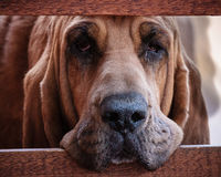 Hound Dog With Droopy Face. Bloodhound staring through a wood fence Stock Image