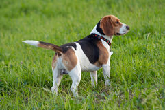 Hound dog English Beagle on meadow. Image of the English Beagle on the meadow Stock Images