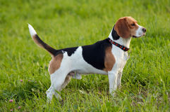 Hound dog English Beagle on meadow Stock Images
