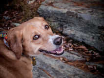 Hound Dog in fall Stock Image