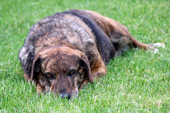 Hound dog in the grass. A hound dog laying in the grass Stock Images
