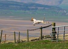 Hound dog jumping gate Royalty Free Stock Photos