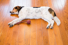 Hound Dog Laying Down on Hardwood Floor Royalty Free Stock Images