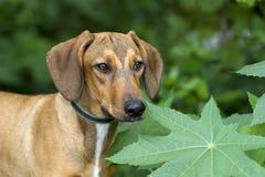 Hound Dog Royalty Free Stock Photography