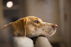 Hound Dog. Lucy relaxing her head on the couch Royalty Free Stock Image