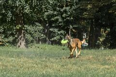 Free Hound Dog On Training With A Frisbee Royalty Free Stock Photography - 194502197