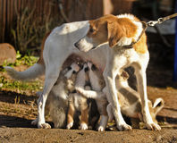 Hound Dog Puppies Feeding Stock Images