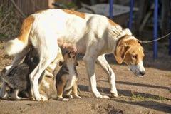 Hound dog puppies feeding Royalty Free Stock Image