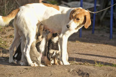 Hound dog puppies feeding Royalty Free Stock Photo