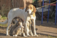 Hound dog puppies feeding Royalty Free Stock Photos