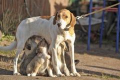 Hound dog puppies feeding Royalty Free Stock Photos