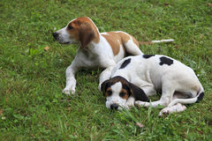 Hound Dog Puppies. Two beagle hound dog puppies sitting in the grass royalty free stock image