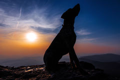 Hound dog on a rock at sunset.  Royalty Free Stock Images