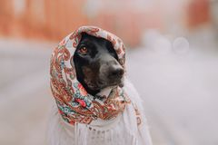 The hound dog sits in a scarf. Hound dog sitting in a white scarf on his head stock image