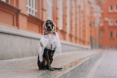 Hound dog sits in a white scarf. Hound dog in a scarf with patterns walking the city royalty free stock photo