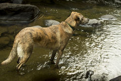 Hound dog standing in the water of the Sugar River in Newport, New Hampshire. Stock Images