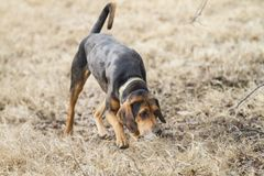 Hound dog tracking a scent. Black and tan coon hound tracking a scent in brown autumn or winter grass, wearing a green collar. Hound dog hunting, on alert stock photo