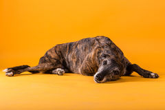 Hound dog Stock Photos