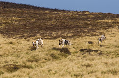 Hound dogs racing on Moors Royalty Free Stock Photo