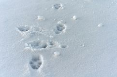 A hound footprints Stock Photography