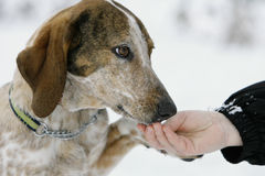 Hound with a fríends hand Royalty Free Stock Photography
