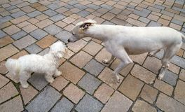 Hound and Maltese bichon dogs smelling. Hound greyhound and Maltese bichon dogs playing smelling each other Royalty Free Stock Images