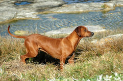Rhodesian Ridgeback hunting dog Royalty Free Stock Photos