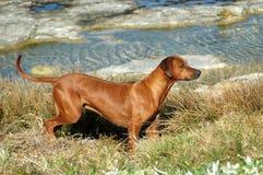 Rhodesian Ridgeback hunting dog royalty free stock photos