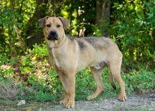Hound Lab Mutt. Hound Lab mixed breed animal shelter adoption photo stock image
