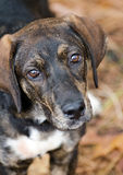 Hound Mix Puppy Stock Images