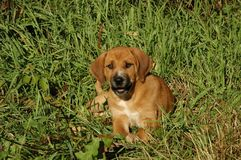 Hound Mix Puppy. In summer grass royalty free stock images