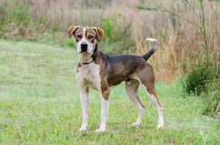Hound mixed breed dog adoption portrait Stock Images