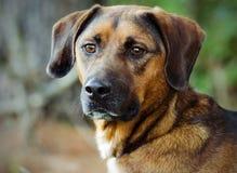 Hound Mutt Adoption Portrait. Hound Mixed Breed Adoption Portrait Animal Shelter Adoption Outdoor Portrait stock photography