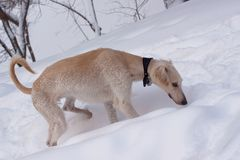 Hound pup in snow Stock Photos