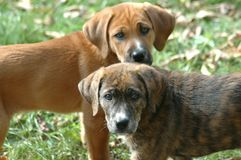 Hound Puppies in Grass. Mixed Breed Hound retriever puppies stock images