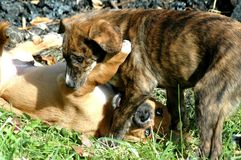 Hound Puppies Playing. Mixed Breed Hound retriever puppies stock photography