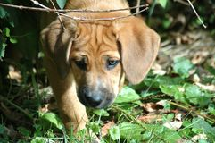 Hound Puppy in Grass. Mixed Breed Hound retriever puppy stock photography