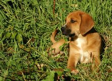 Hound Puppy. Mixed Breed puppy in summer grass royalty free stock images